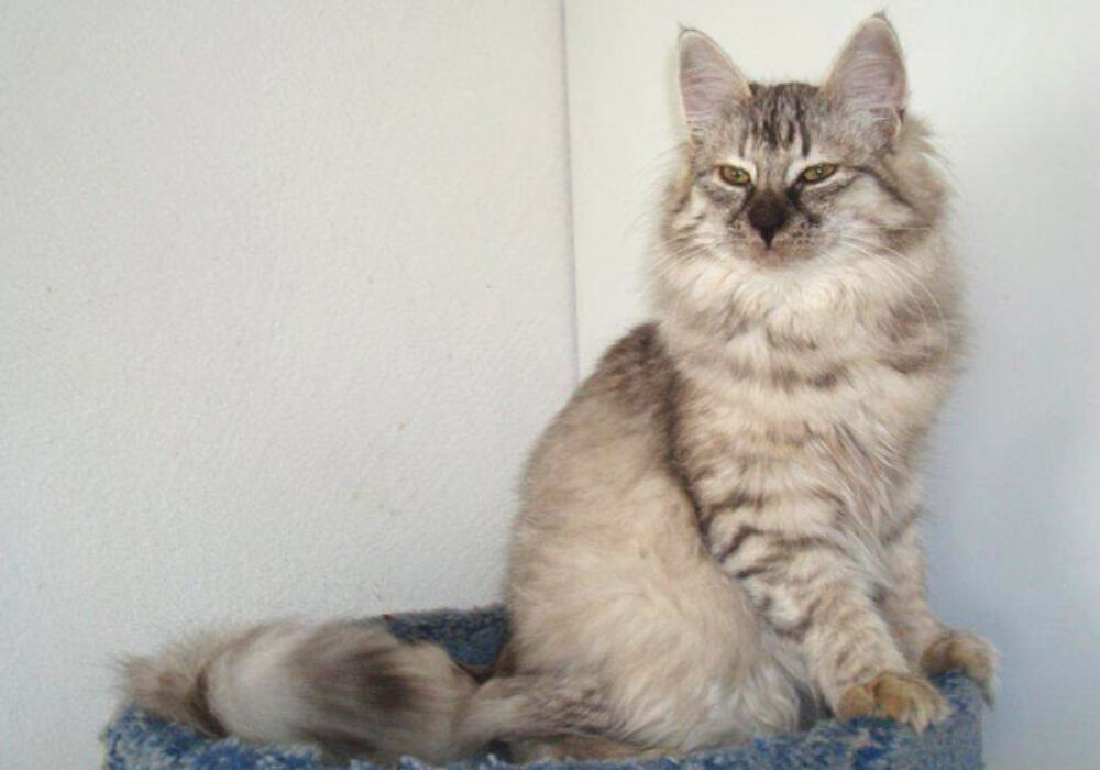 Paula Marie von Bushy Cat*D